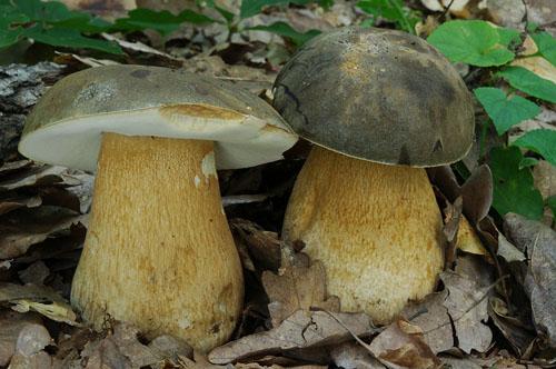 Белый гриб темно-бронзовый