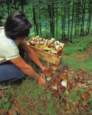 Вирощування білих грибів