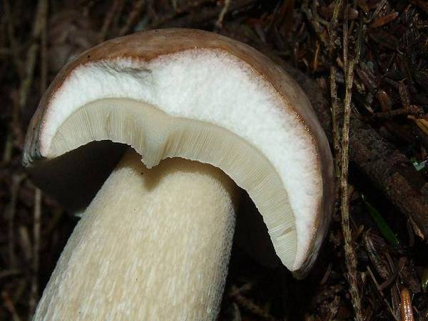 М'якоть білого гриба