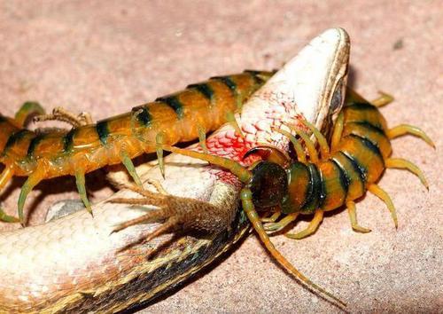 сколопендра убивает ящерицу