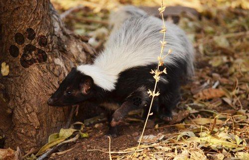 Mexican Skunk