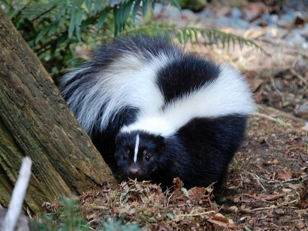 Skunk hunting