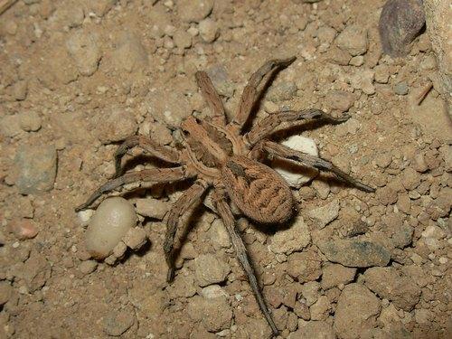 Апулійскій тарантул