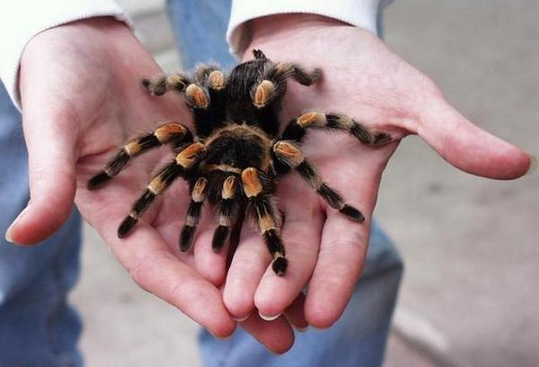 Бразильский тарантул