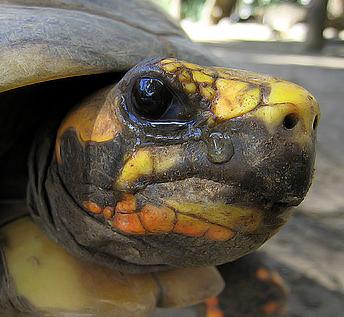 Черепаха плачет