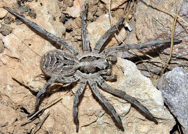 Іспанський тарантул