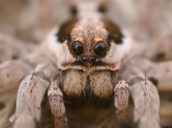 голова тарантула