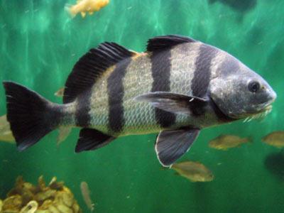 риба барабанщик