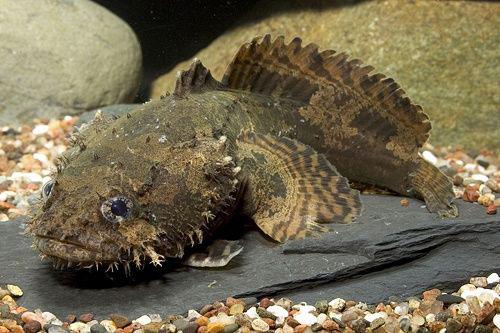 риба жаба