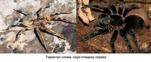 тарантул и птицеед