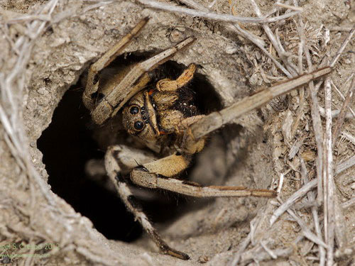 тарантул в норе