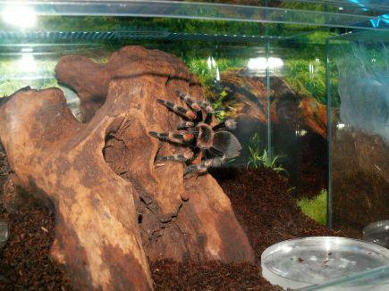 тарантул у терраріумі