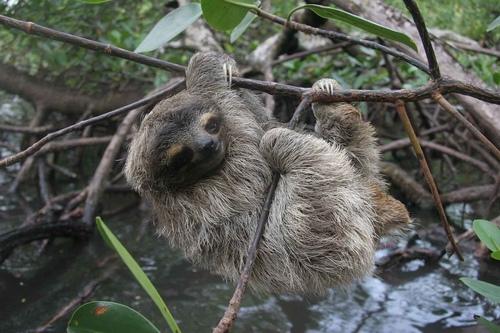 Карликовий лінивець