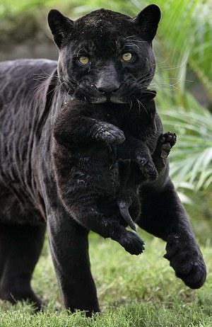 Пантера с детенышем