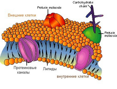 Клітинна мембрана