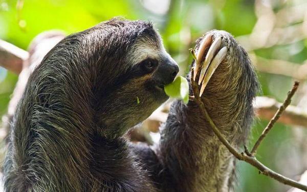 ленивец ест