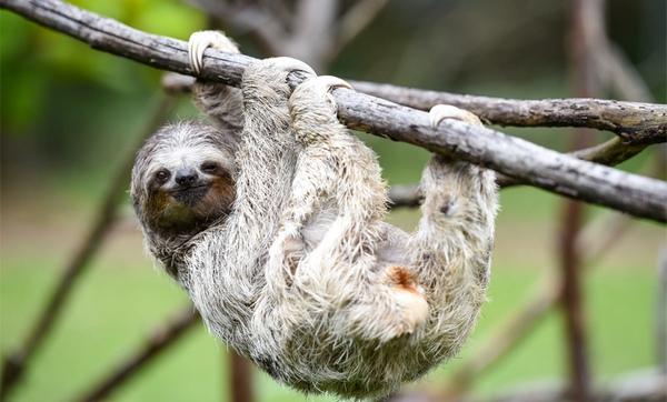 лінивець на дереві