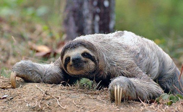 ленивец на земле