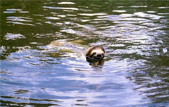 лінивець у воді