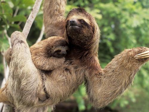 мама ленивец