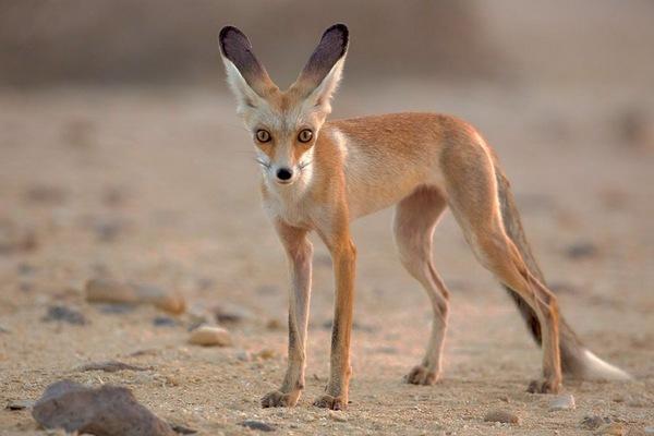 Афганська лисиця