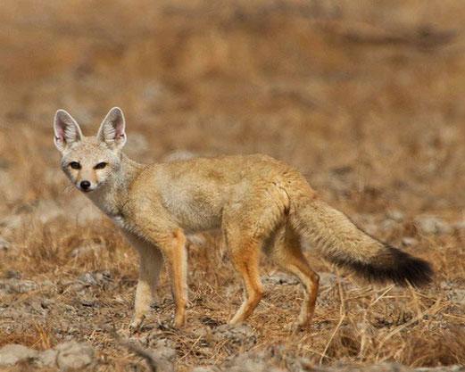 Африканская лисица