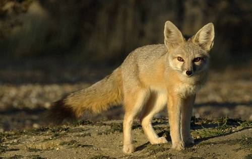 Американська лисиця