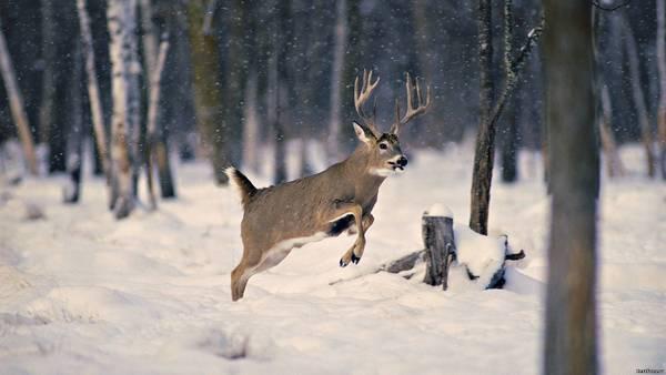 олень, який біжить
