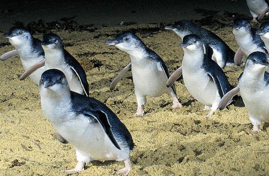 Малый пингвин
