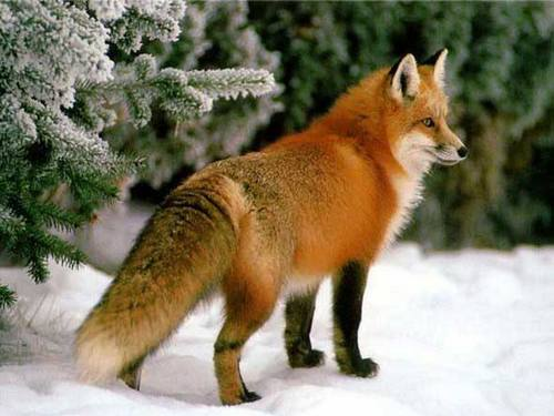 Звичайна лисиця