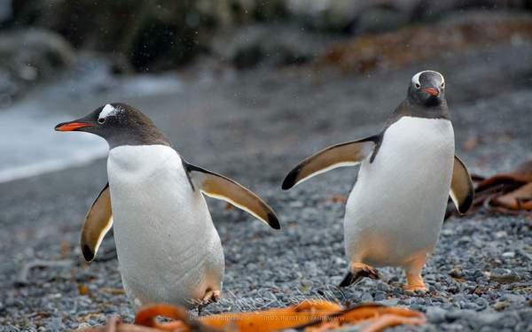 Papuan penguin
