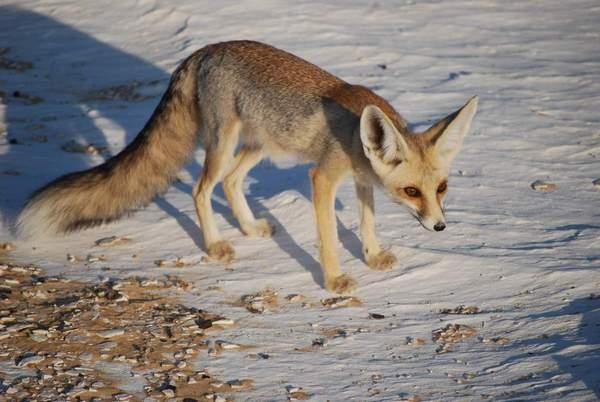 Піщана лисиця