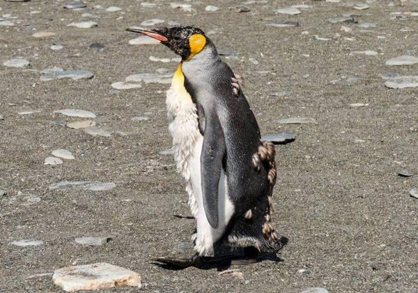 Пингвин во время линьки