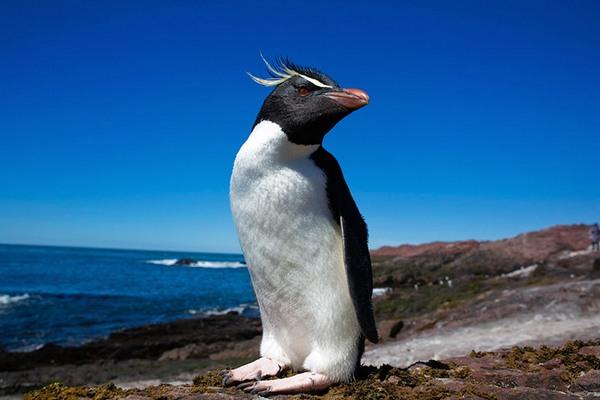Северный хохлатый пингвин