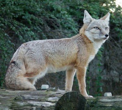 Степова лисиця
