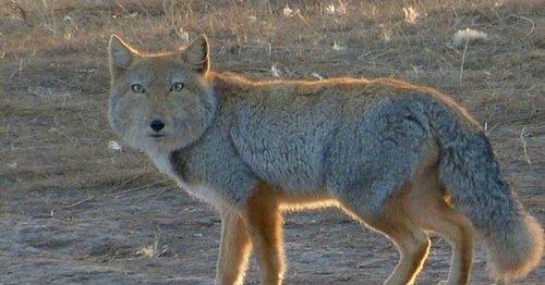 Тибетська лисиця