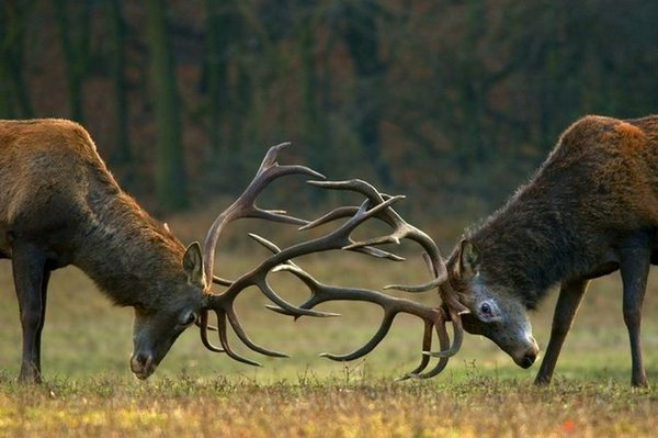 deer battle