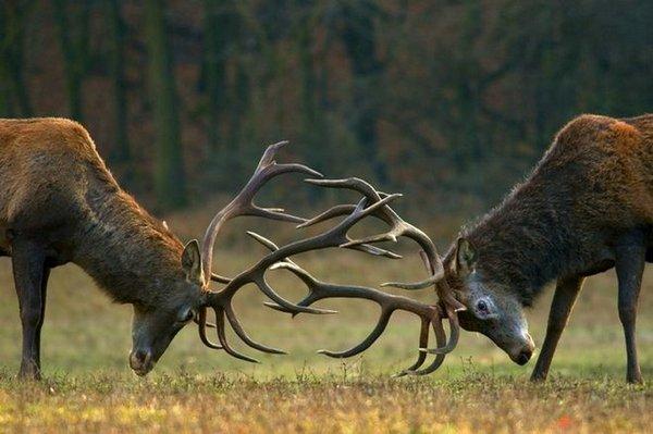 битва оленей