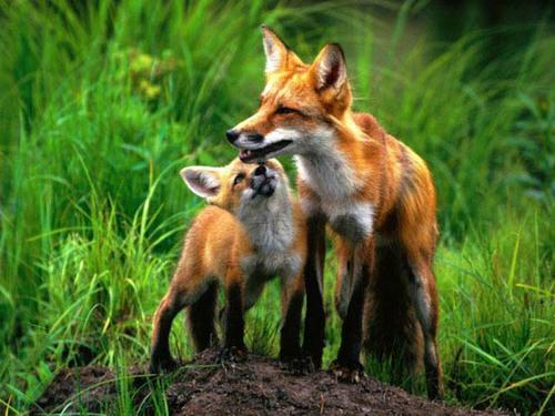 лисиця та лисенятко