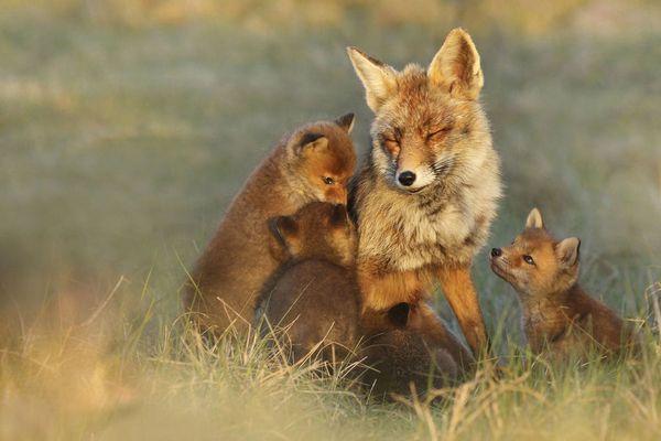 лисиця з дітками