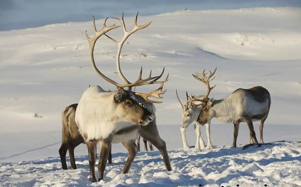північні олені