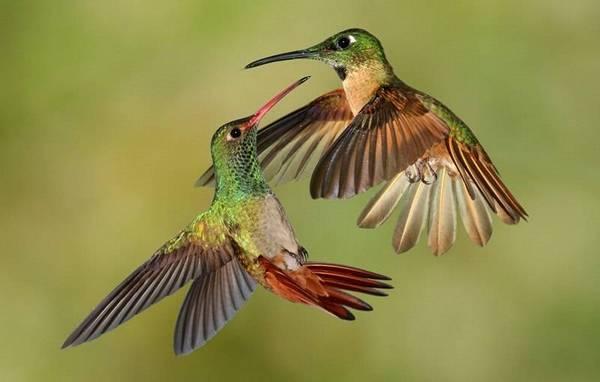 брачные танцы колибри