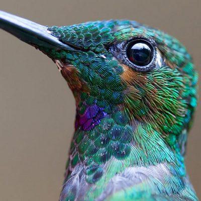 голова колибри