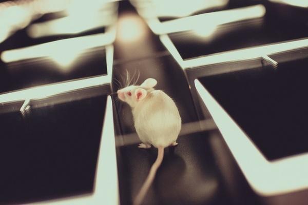лабиринт для мышей