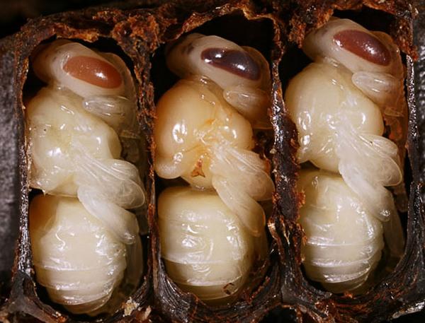 личинки бджіл