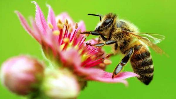 Бджола: опис, розмноження, спосіб життя, цікаві факти