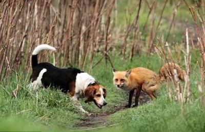собака та лисиця