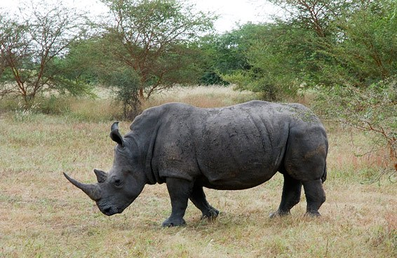 Чорний носоріг
