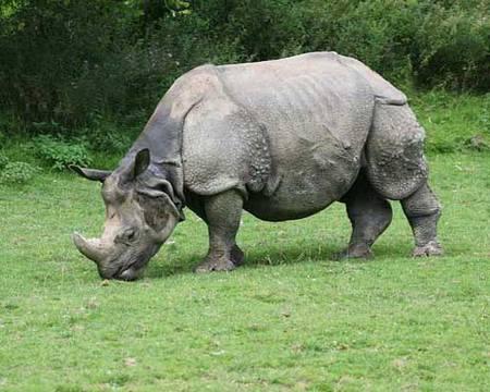 Індійський носоріг