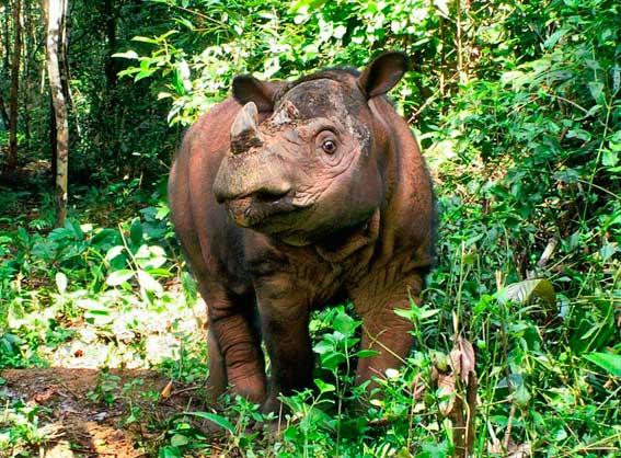 Суматранский носорог